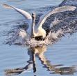 Mute Swan - Dave (AH)