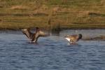 Tundra Bean Geese - Lawrie