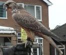 Recaptured hybrid falcon - Pergrine/Saker/Gyr