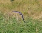 Black Tern - Lawrie P