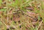 Black-tailed Skimmer - Peter
