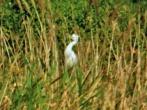 Cattle Egret  - Bryan C