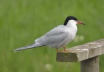 Common Tern - Dave IH