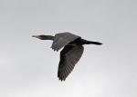 Cormorant - Dave (AH)
