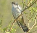 Cuckoo - Dave IH