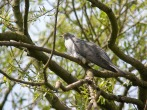 Cuckoo at Lowther - DIH