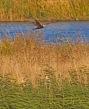 Fox & Harrier - Lawrie