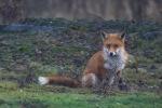 Foxy - Lawrie