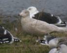 Glaucous Gull - GYL