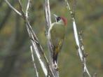 Green Woodpecker - DIH