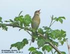 Grasshopper Warbler - Gordon