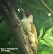 Green Woodpecker - Graham Leach