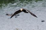 Marsh Harrier - Dave (AH)