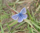Common Blue B/Fly - Peter