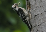 Lesser Spotted Woodpecker - PB 2008