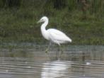 Juvenile Little Egret - DIH