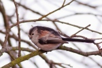 Long-tailed Tit - Mark W