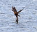 Marsh Harrier - Lawrie