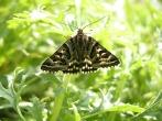Mother Shipton moth at Skelton - DIH