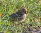 Lesser Redpoll - Lawrie
