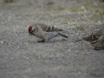 Redpoll sp. (Comments?) - Dave (IH)