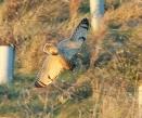 Short-eared Owl - Dave (AH)..