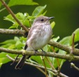 Spotted Flycatcher - Dave IH