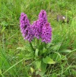 Southern Marsh Orchid - John (MS) from Summer