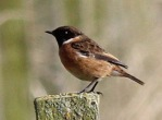 Stonechat - Dave (AH)