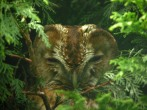 Tawny Owl - Dave IH