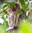 Tawny Owl - Phil walton