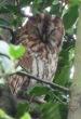 Tawny Owl - GR 2009