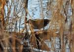 Water Rail - Philip Smithson