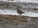 Water Pipit - PRG