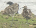 Whimbrel - GR 2007