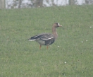 White-fronted Goose - DIH