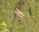 Whitethroat - Terry Smart
