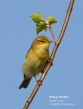 Willow Warbler - Philip Smithson