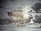 Possible Caspian Gull - comments invited