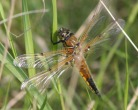 Four Spotted Chaser - Pete