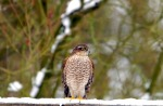 Sparrowhawk - Mike