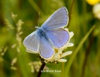 Common Blue Damsel - Mike