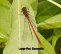 Large Red Damsel - MIke