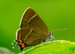 White Letter Hairstreak---Paul Green
