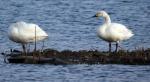 Bewick's Swans - DIH