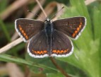 Brown Argus - Pete H