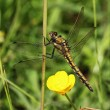 Black-tailed Skimmer (f) - Mick