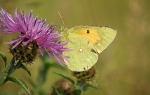 Clouded Yellow - DIH