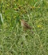Corn Bunting---Mike Noble