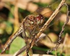 A very late Common Darter - Mick